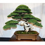 Juniper Bonsai Purify The Air Absorb Harmful Gases 50 Seeds