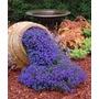 50 Semillas De Flores De Roca Azul Decoración Jardín Cesped